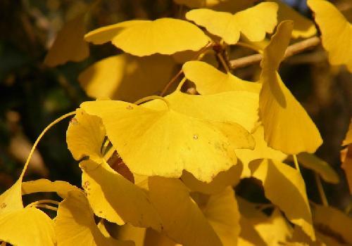 イチョウ 浅く裂けた 黄色に紅葉します
