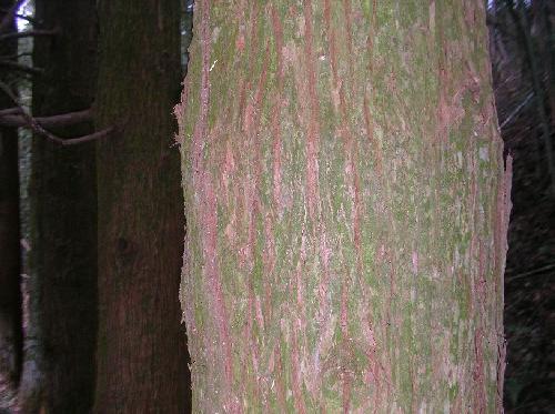 スギ 茶褐色で縦に割れ目が入る