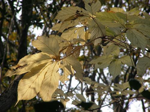 コシアブラ クリーム色に紅葉する