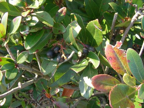 シャリンバイ 秋から冬にかけて球形の黒熟する実