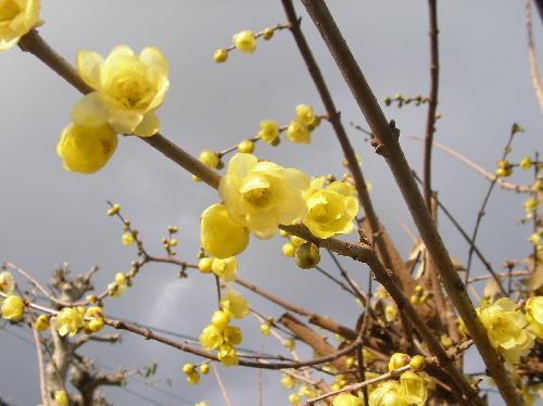 ソシンロウバイ ロウのような質感の黄色い花冬