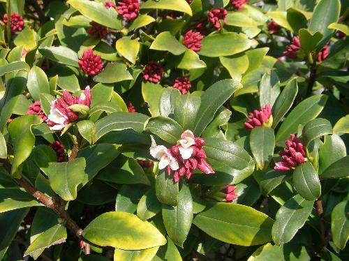 ジンチョウゲ 冬に外側が赤紫色で内側は白い花をつける 強いにおいがする