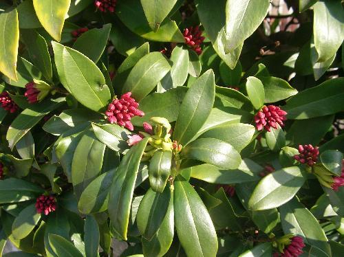 ジンチョウゲ 細長い倒卵形 厚い葉は全縁 互生