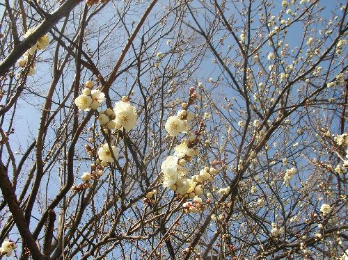 ウメ 晩冬に白い花が咲く