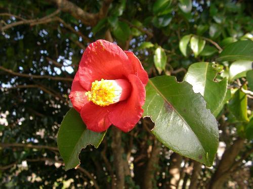 ヤブツバキ 冬から早春赤い合弁花は一輪ごとにポタリと落ちる