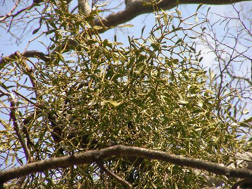 ヤドリギ 葉は倒卵形で全縁 対生する