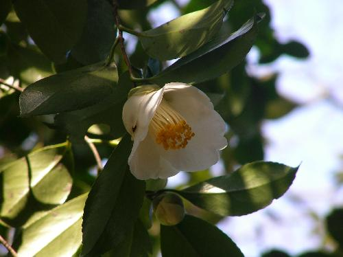 ヤブツバキ 冬から早春白い花が咲くものもある