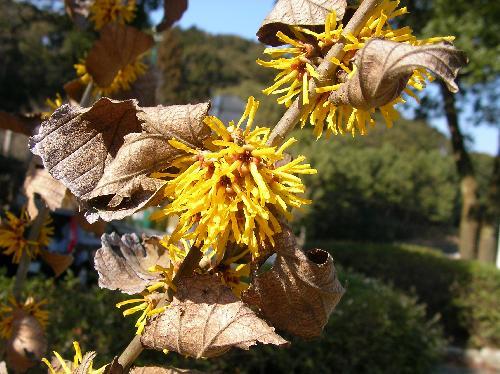シナマンサク 冬に4枚の細長くちじれた花びらの花を咲かせます