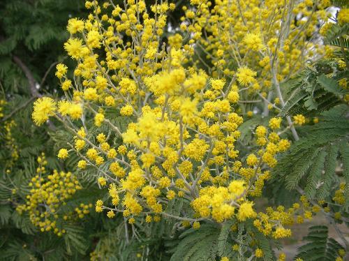 フサアカシア 初春に黄色い花を多数つける