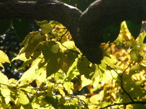 イヌシデ 黄色に紅葉する