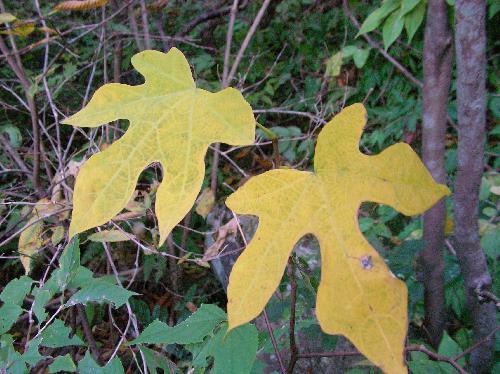 モミジウリノキ 互生円形全縁中裂 紅葉のように切れ込んでいる黄色に紅葉