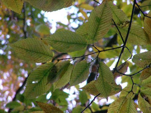 チドリノキ 葉は対生し秋には黄色やオレンジ色に紅葉 倒卵形楕円形鋸歯
