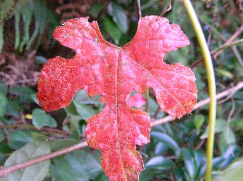 エビヅル 赤く紅葉する 円形 互生 3~5裂
