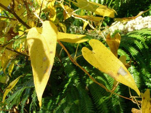 ヤマノイモ 鮮やかな黄色に紅葉する 長ハート形対生全縁