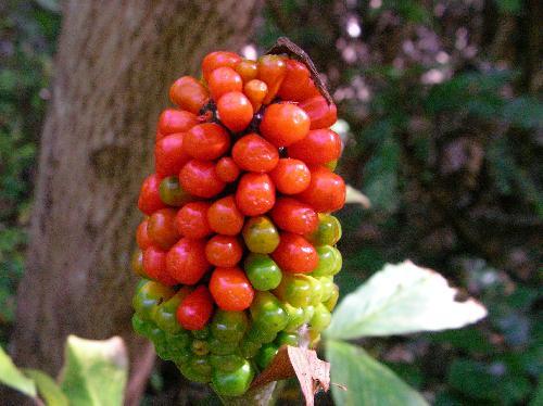 マムシグサ 秋に赤く熟すイボイボの実