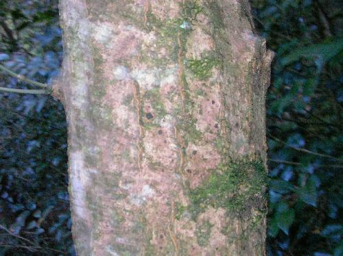 コハウチワカエデ 灰褐色で所々縦方向にひびが入る