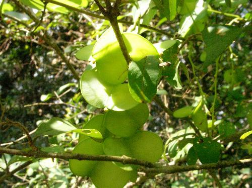 ヤマノイモ 秋 茶色 3枚の翼を持った果実
