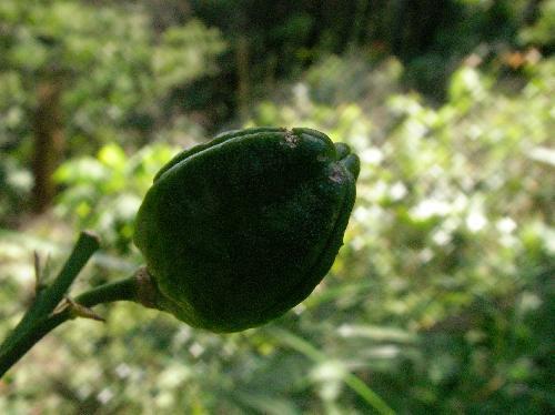 ユウスゲ 秋茶色 熟すと中から黒い種子が出てくる