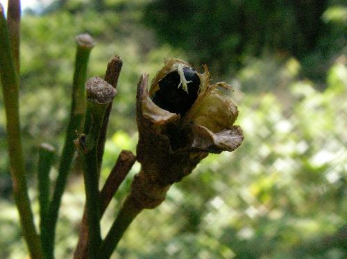 ユウスゲ 種子は黒くて扁平