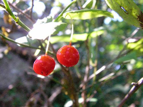 アクシバ 何ともかわいらしい光沢のある赤い実 秋 実に近い果柄の一部も赤い