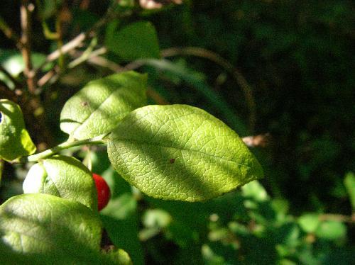 アクシバ 葉は楕円形で互生しややしわっぽい感じ 全縁