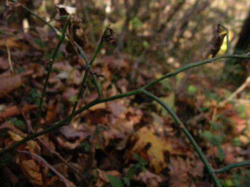 アクシバ 若枝は濃い緑色 やや扁平か?