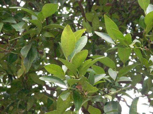ヤマトタチバナ 常緑で対生し全縁