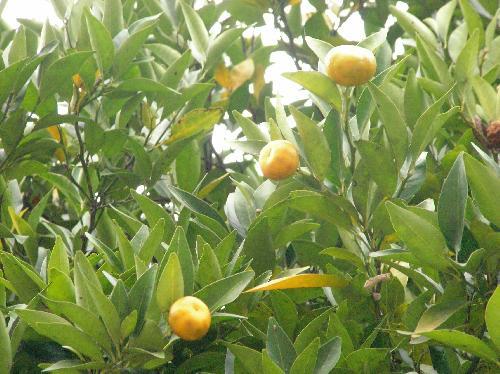 ヤマトタチバナ 冬黄色い果実は上を向いてなる