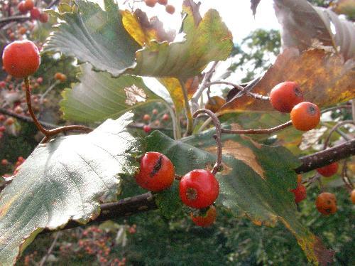ウラジロノキ 秋に赤く熟す果実は水分のないリンゴのような味がする