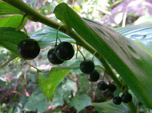 オオナルコユリ 秋に丸くて黒い実が並んでなる