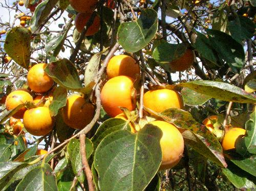 カキノキ 秋に橙色の実をたわわにつける