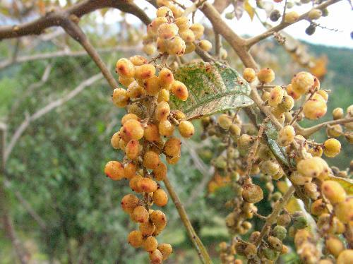 ヌルデ 扁平なマメのような実は秋に黄褐色に熟す