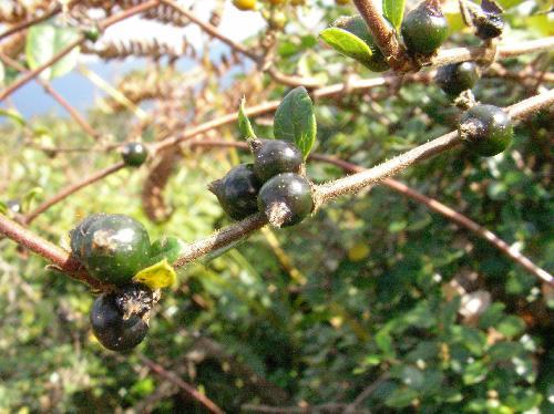 スイカズラ 初冬黒い色をした実が葉の付け根になる