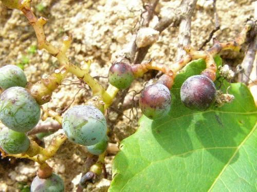 ナツヅタ 秋 青黒いブドウのような丸い実が房状に付く