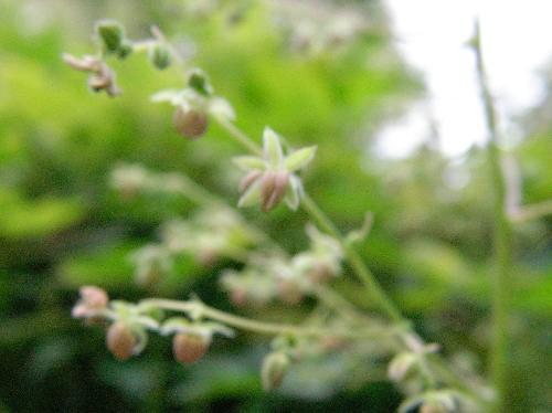 カナムグラ 秋に咲く黄緑色の花 雄花