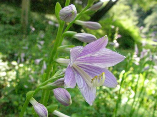 コバギボウシ 夏に青紫色の花が咲く