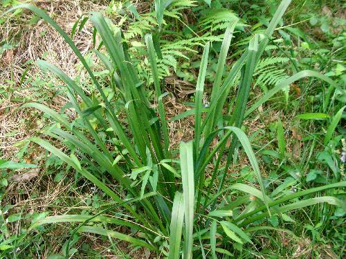 ユウスゲ 細長い葉