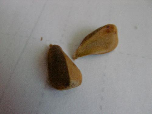 ブナ 三角に角張った種子