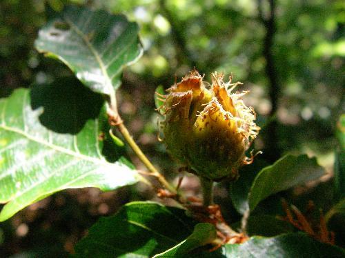 ブナ 秋茶色に熟すシイのような形の実
