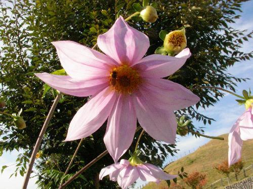 コウテイダリア 晩秋から初冬にかけて赤紫からピンクの花をつける