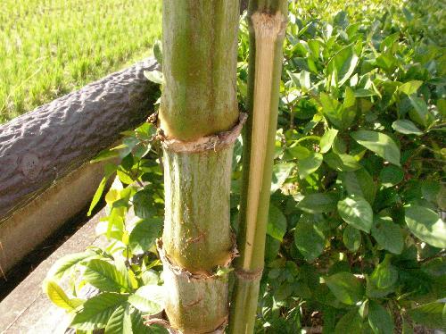 コウテイダリア 竹のように節くれだった茎