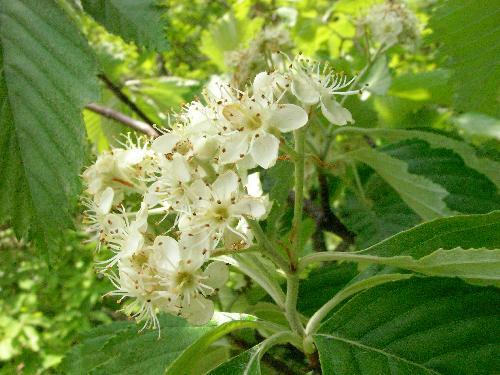 ウラジロノキ 春に小さな白い花をつける