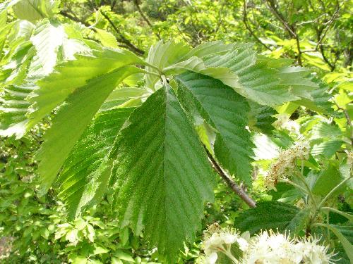 ウラジロノキ 粗い鋸歯と葉脈が目立つ葉の裏には毛が生えており白く見える 互生