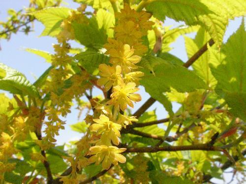 ウリハダカエデ 春に黄色い花が房状につながって垂れ下がる