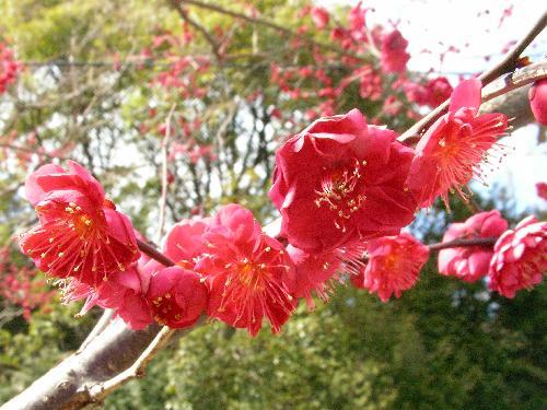 ウメ 晩冬 紅梅 赤い花