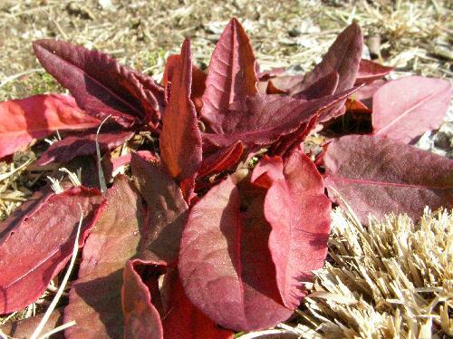 スイバ 冬はロゼット葉ですごし赤くなることが多い 長楕円形 互生
