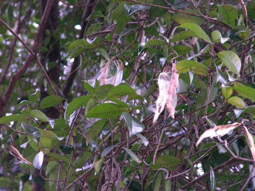 テイカカズラ 秋茶色 実は細長いサヤ状で綿毛が付いた種子が出てくる