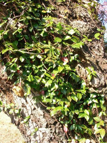 テイカカズラ 岩や木に気根で定着する