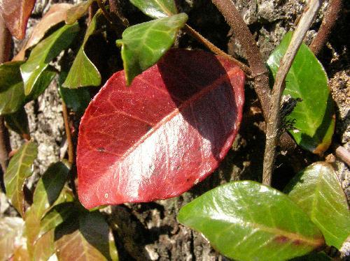 テイカカズラ 赤く紅葉する葉もある 広楕円形互生全縁