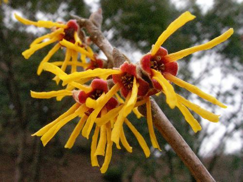 シナマンサク 冬に開花 4枚の細長くちじれた花びら